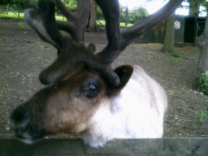 An Inquisitive Reindeer