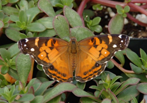 American_Lady_Vanessa_virginiensis_Upper_Wings_1609px